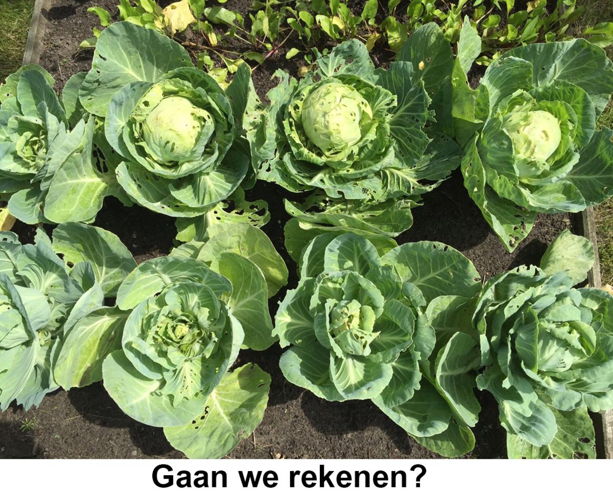 5_Zuurkoolplantjes